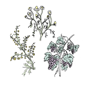 vermouth botanical drawing