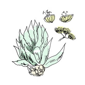tequila botanical drawing