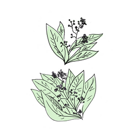 allspice dram botanical drawing