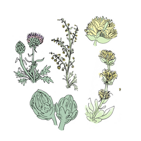 amaro botanical drawing