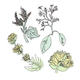 aperol botanical drawing