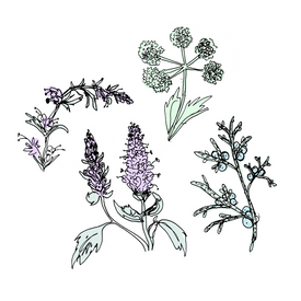 benedictine botanical drawing