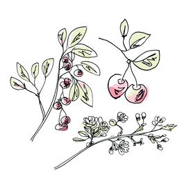 cherry botanical drawing