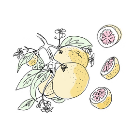 grapefruit botanical drawing