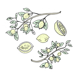 lemon botanical drawing