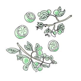 lime botanical drawing