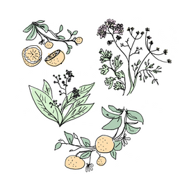 orange bitters botanical drawing